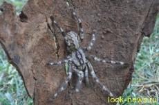 Ученые нашли тарантула очень большого размеров
