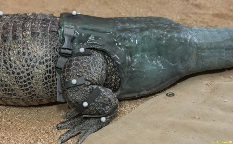 Первый в мире крокодил-инвалид с искусственным хвостом