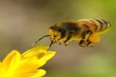 Эстонец потребует в суде изменить маршрут полета пчел