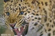 Леопард напал на девочку в антракте циркового выступления в Смоленске