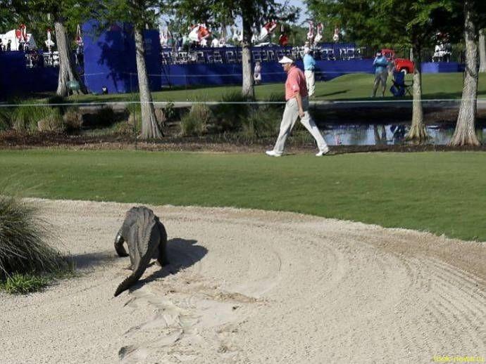 На поле для гольфа вылез трехногий аллигатор