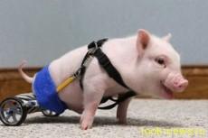 Поросёнок на Инвалидной Коляске, Chris P. Bacon (Крис П. Бэкон)