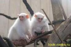 В арктическом зоопарке России впервые родились самые маленькие обезьянки в мире