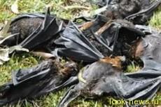 На Австралию обрушился дождь из мертвых летучих мышей