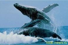 Горбатые киты могут петь брачные песни, забывая о пище